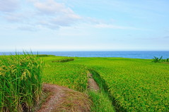 Rice Fields By The Sea