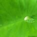 Raindrops on colocasia by shampoyekar