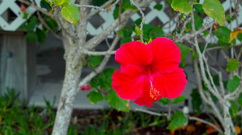 Bright red Hibiscus-Sigma DP2
