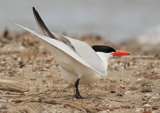 Caspian Tern (Hydroprogne caspia) CATE