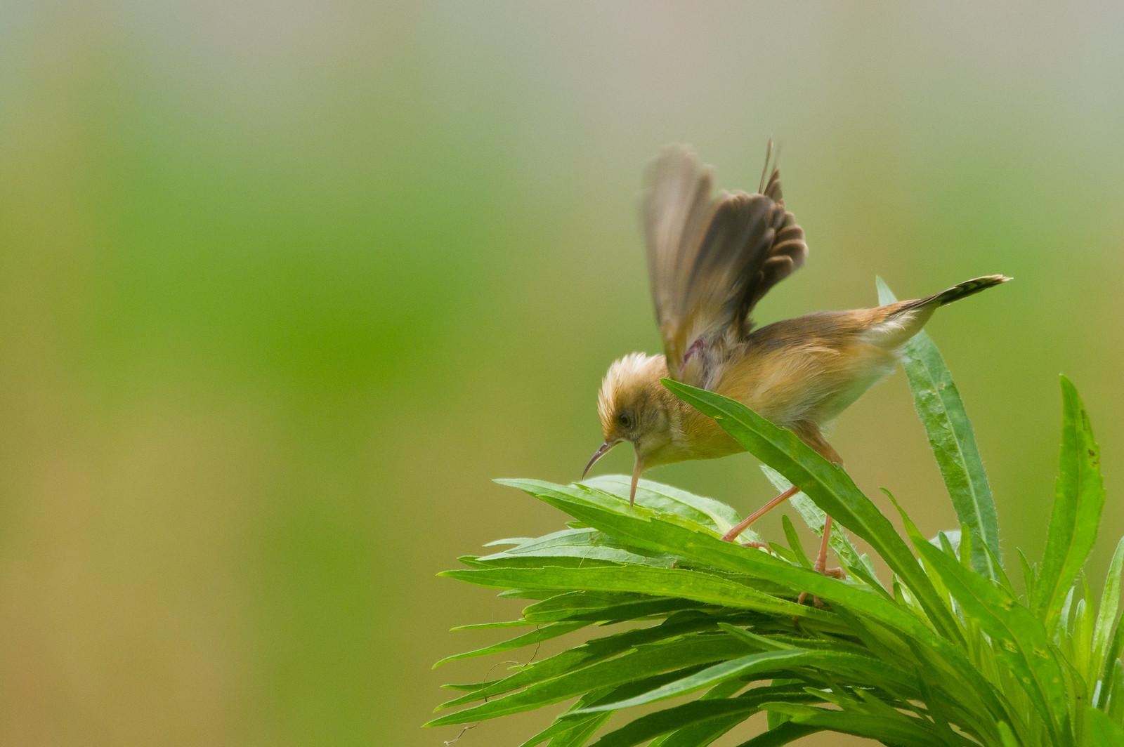 最近迷上黃頭扇尾鶯