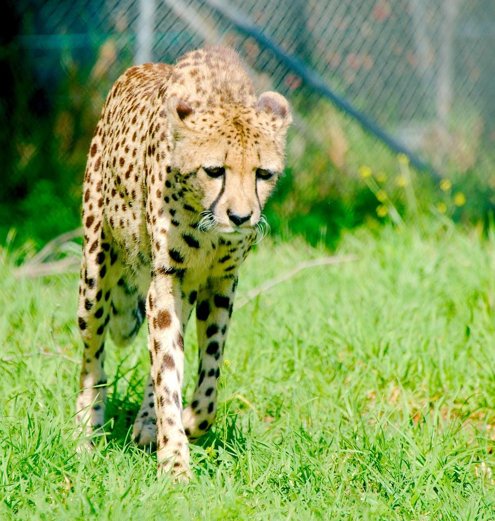 Cheetah (Acinonyx jubatus)_11