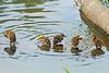 Mallard Ducklings 15-0526-3873 by digitalmarbles