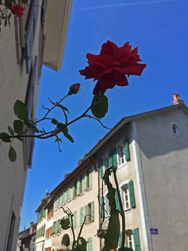 rose St Prex_290515