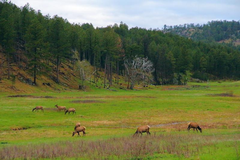 IMG_8820 Elk, Custer State Park