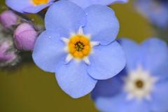 Woodland Forget-me-not (Myosotis sylvatica)