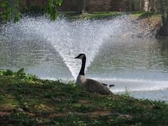 The goose probably didn't notice the fountain.