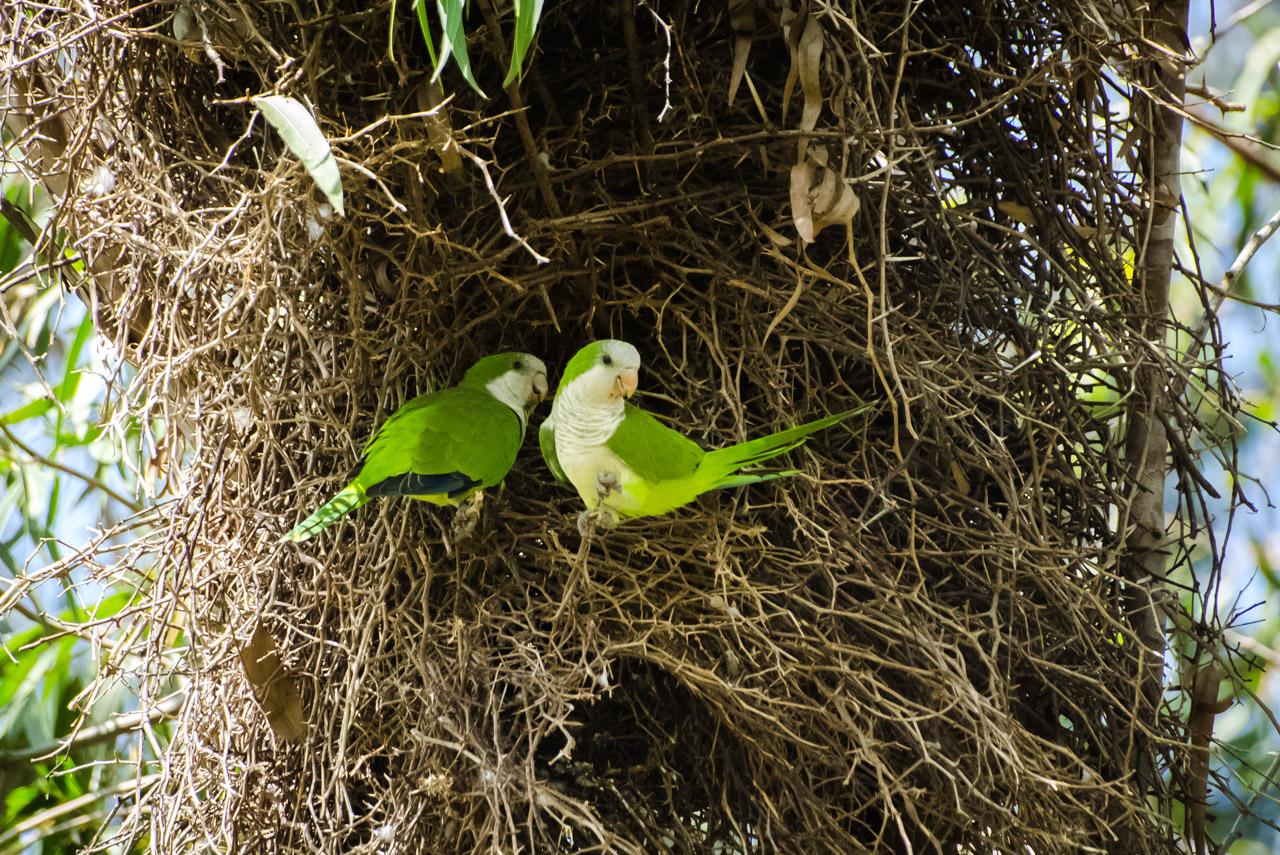 Una pareja de cotorritas (Myiopsitta monachus) nos observa desde su nido colgado de las ramas del árbol de Eucalipto. (Elton Núñez)