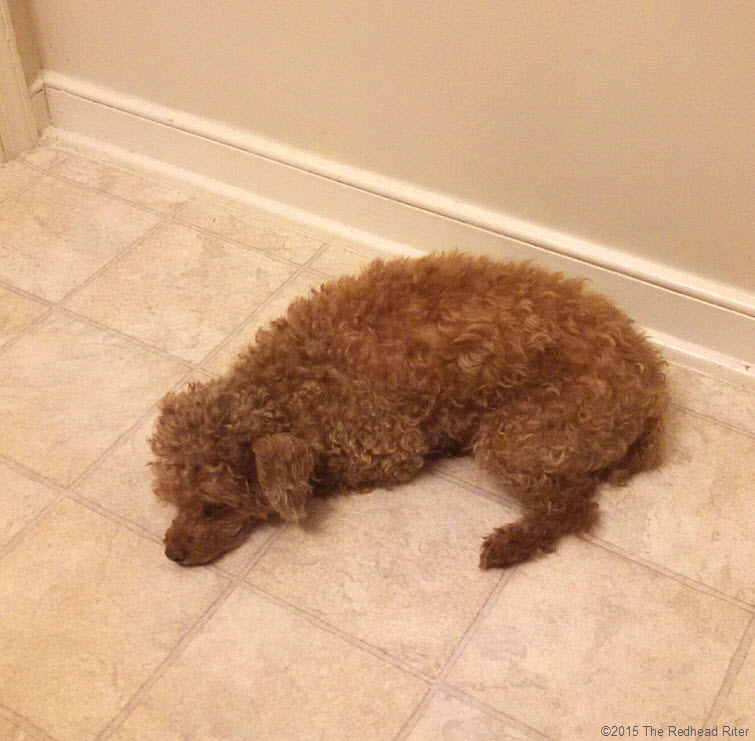 red toy poodle laying down on floor bored
