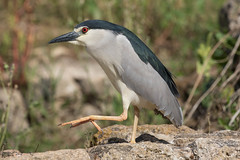 goose stepping night heron