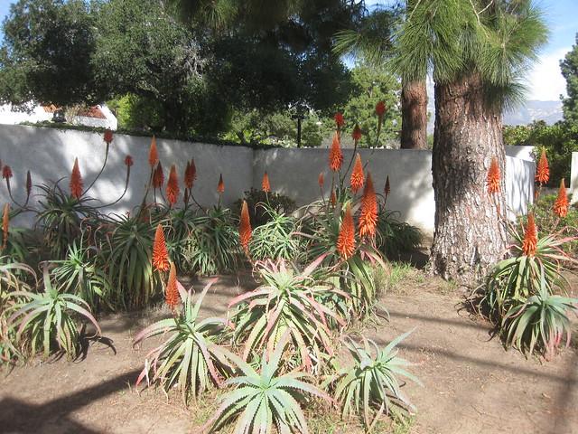 IMG_3619 orange aloe flowers