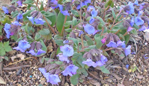 Blue lungwort