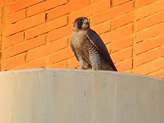 Falco peregrinus. Halcón Peregrino. Peregrine Falcon