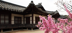 Spring_in_Changdeokgung_Palace_2015_03