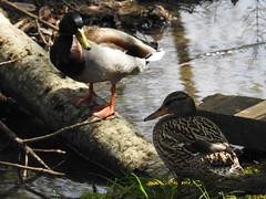 Ducks Near Mt Talbert Nature Park