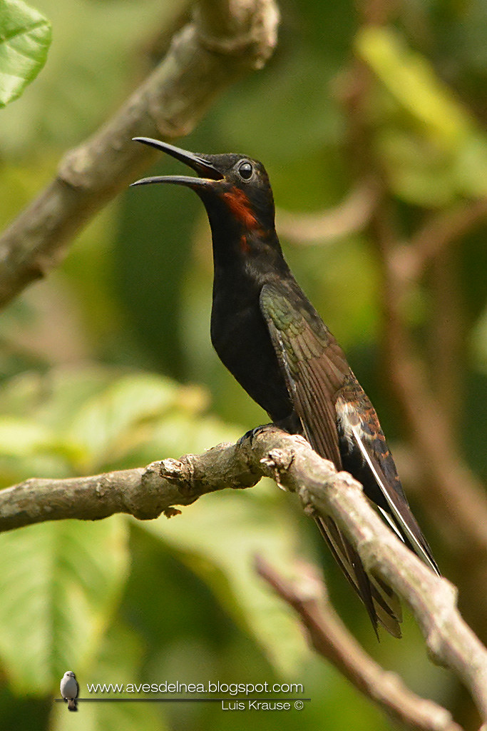 Picaflor negro (Black Jacobim) Florisuga fusca