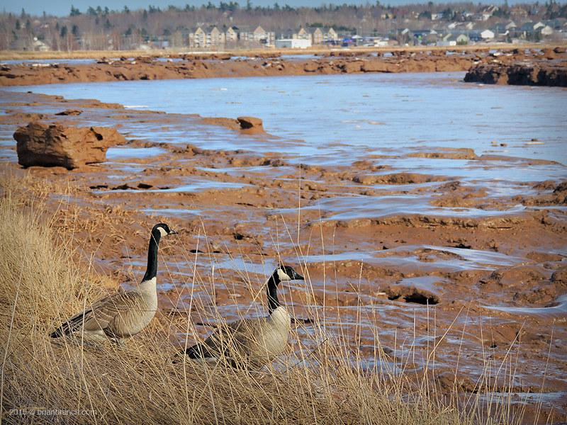 DSCN9929_geese