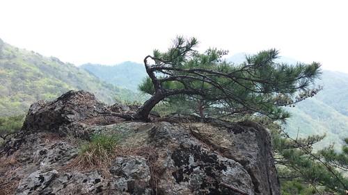 백년(?) 소나무 | 시루봉-청화산행