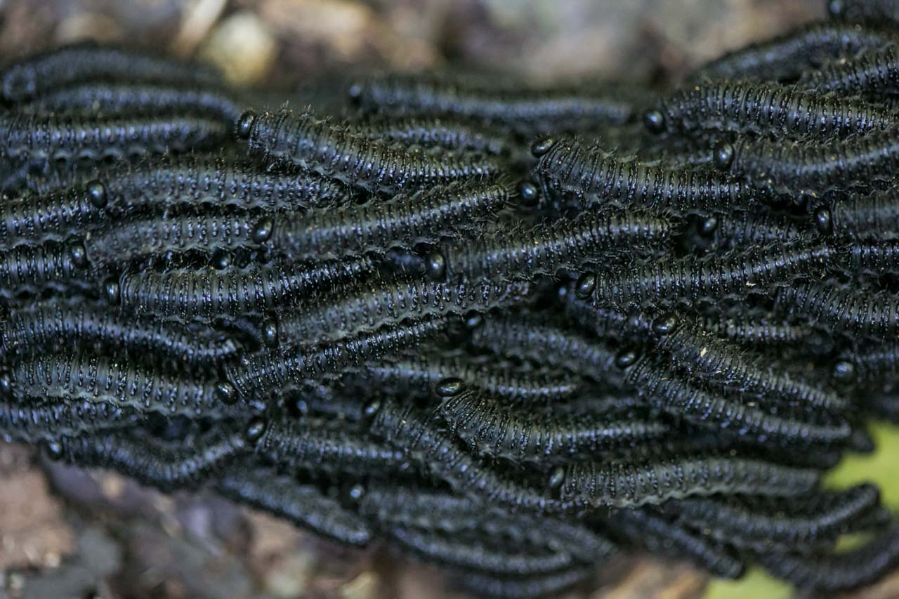 Un grupo de gusanos realizan un recorrido juntos por el suelo, según investigaciones este comportamiento es para protegerse de los depredadores o para comunicarse durante el viaje. (Tetsu Espósito)