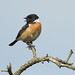 Stonechat by Gary Faulkner's wildlife photography