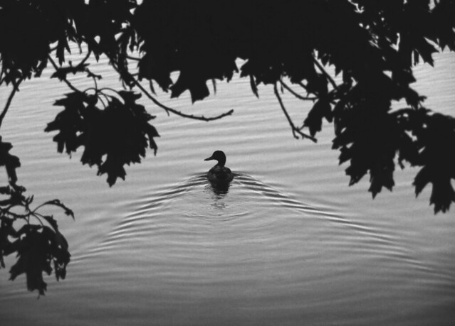 Duck in Lake Quannapowitt; Wakefield, MA (2016)