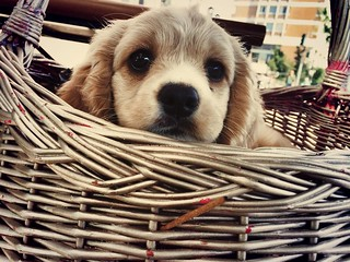 puppy in basket | by Liza Chudnovsky