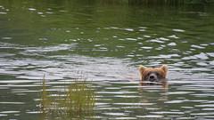Niedźwiedź dobrze pływaja