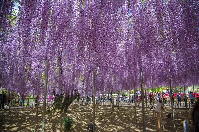 ashikaga_flowerpark-9