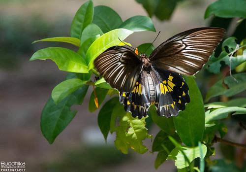 butterfly sri srilanka commonbirdwing srilankanbirdwing