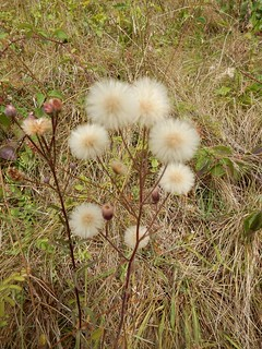 Fluffy-chick weed