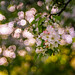Apple blossoms by Sorin Mutu