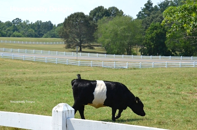 Belted Galloway Cow/Fearrington Village-Housepitality Designs