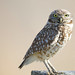Burrowing Owl DE by chandlerwildlifephotography
