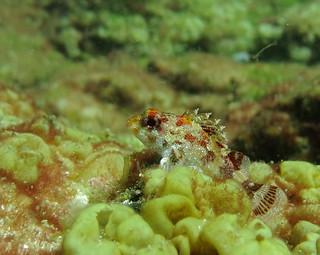 Scorpionfish, Charco Natural