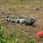 Mi, 22.04.15 - 14:14 - Iguana (faul)