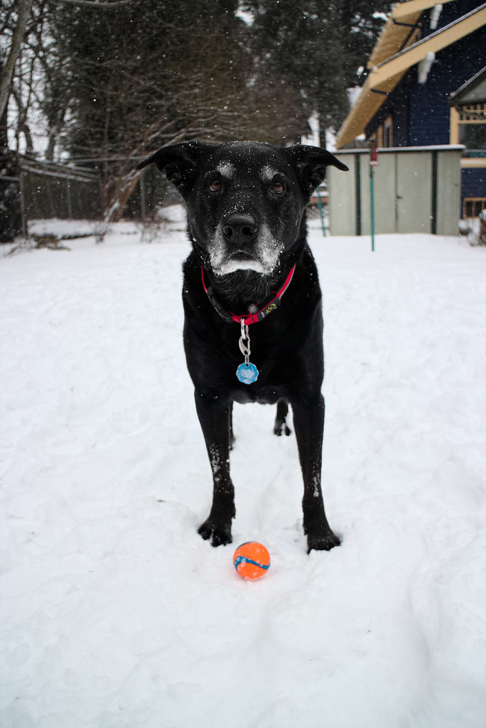 Our dog Ellie plays ball in the snow