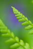 Green meets blue - Stijve Naaldvaren