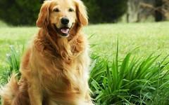 dog breed(1.0), animal(1.0), dog(1.0), pet(1.0), nova scotia duck tolling retriever(1.0), setter(1.0), golden retriever(1.0), carnivoran(1.0),