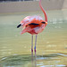 Flamingo at Seaworld in San Diego