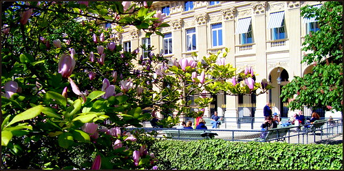 Magnolia in the Palais Royal
