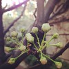 Buds. #spring #SPRINGFINALLY #columbia #barnard #latergram
