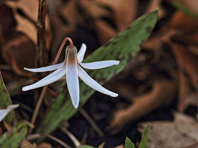 White Trout Lily - Erythronium albidum