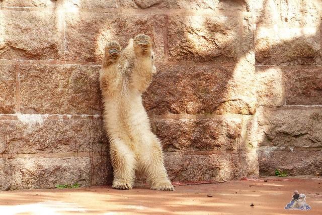 Eisbär Fiete Zoo Rostock 11.04.2015 Teil 1 142