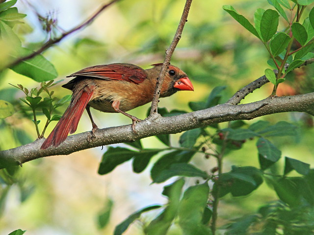Northern Cardinal female 2-20150413