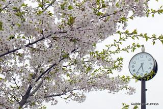 white-pink-cherry-blossoms-japan.jpg