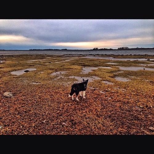 instagramapp square squareformat iphoneography uploaded:by=instagram foursquare:venue=4ba92442f964a520b60e3ae3 sobe sobedog bordercollie cattledog bestdog gooddog dog love bordercolliemix happiness pal bestfriend buddy imissyou australiancattledog