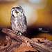 White Faced Owl by YorkeHousePhotography