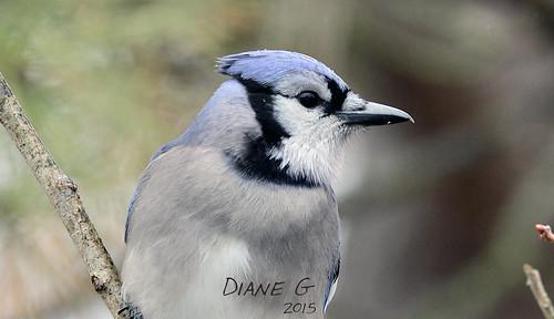 Blue Jay  33