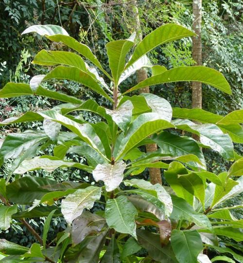 Barringtonia neocaledonica 17158009858_91ca582740_o