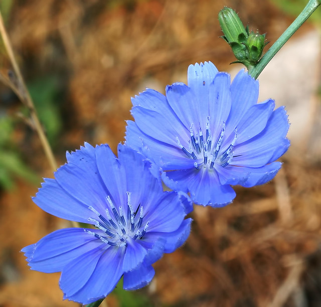 Chicory 20d_6001